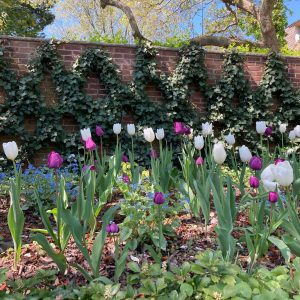 White and purple tulips mix with emerging shade perennials